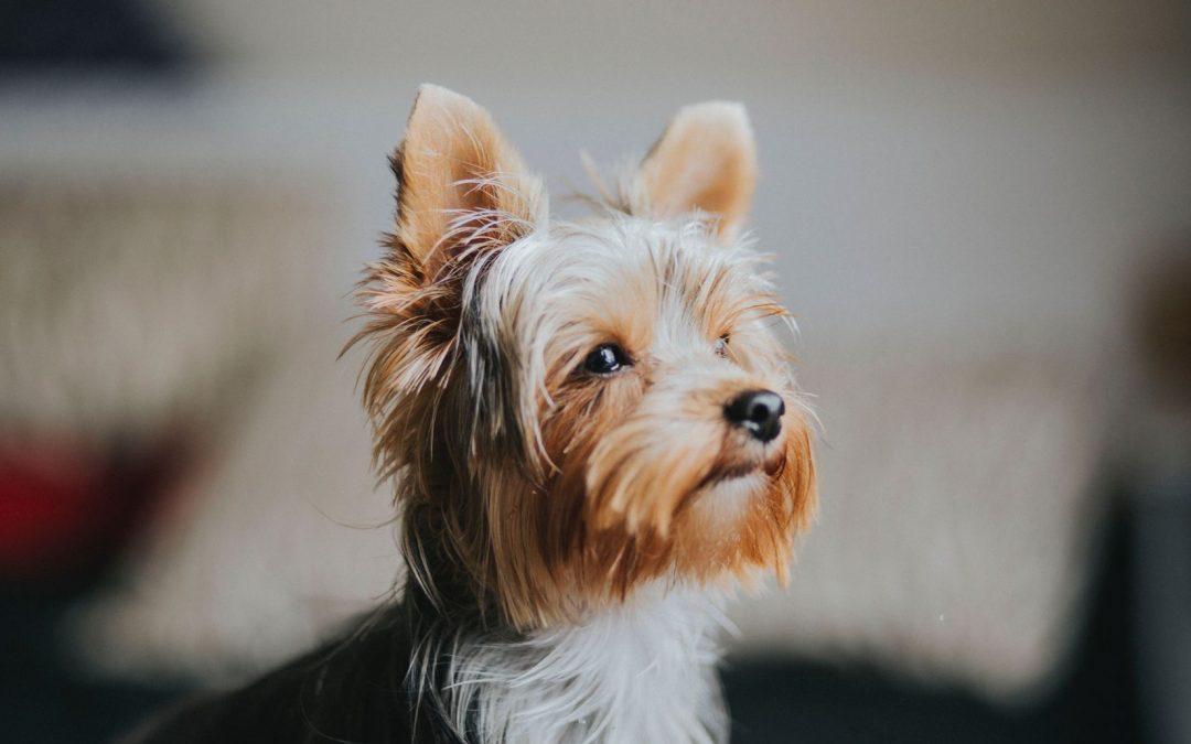 Assurer son yorkshire avec une mutuelle chien