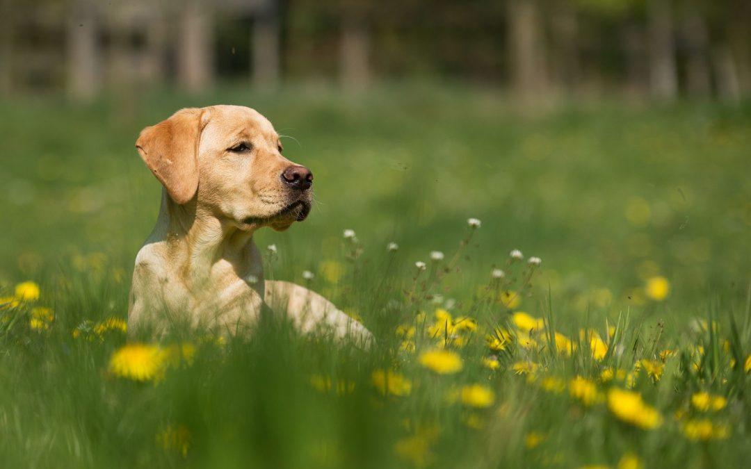 Assurer son labrador avec une mutuelle chien