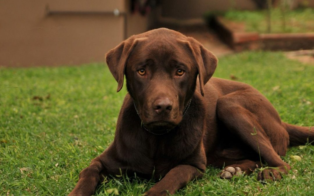 Comment assurer un chien de pedigree à bon prix?