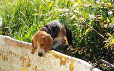 Une mutuelle chien pour race Beagle